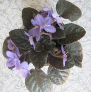 Фиалка (фиолетовая)