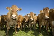 Закупаем коров,  быков ,  телят ,  лошадей живым и убойным весом