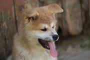 Милые щеночки Акита-ину,  с документами