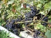 винограда,  голубики высокорослой