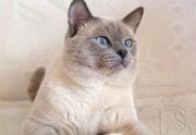 Чистокровный тайский кот.