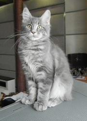 котята Мейн-кун прдам